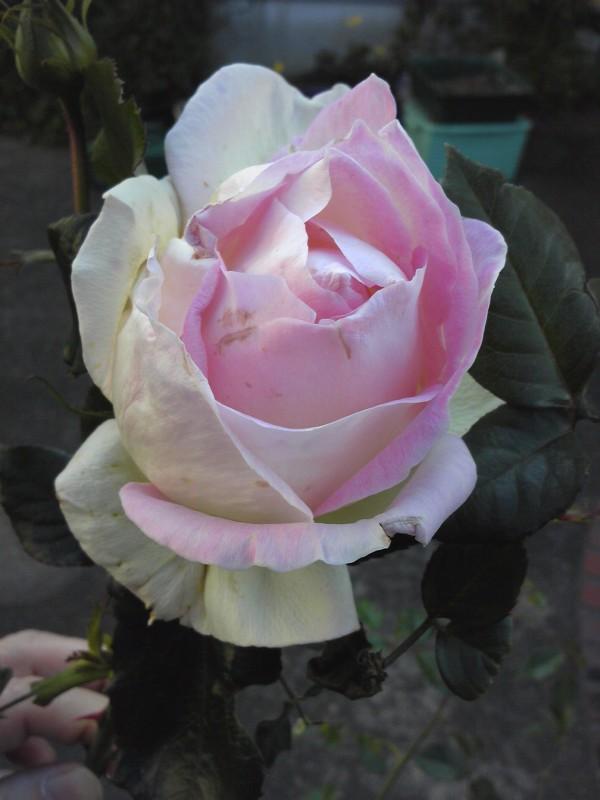 秋のバラ 3連発